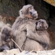 Baboon family at Zurich zoo