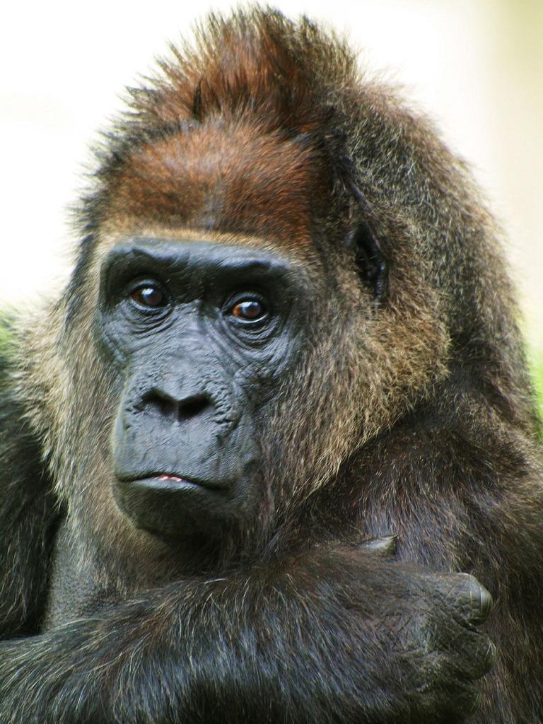 Handsome Gorilla at Berlin zoo
