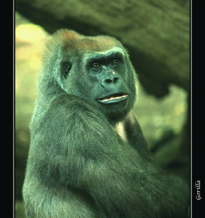 The handsome Gorilla of the Bronx