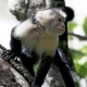 Capuhin Monkey in Manual Antonio Park