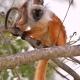 Black-Lemur-brown-female