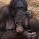 Cuddling Orangutans