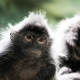 Two small Langur monkeys