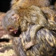 Pygmy Marmoset on mothers back