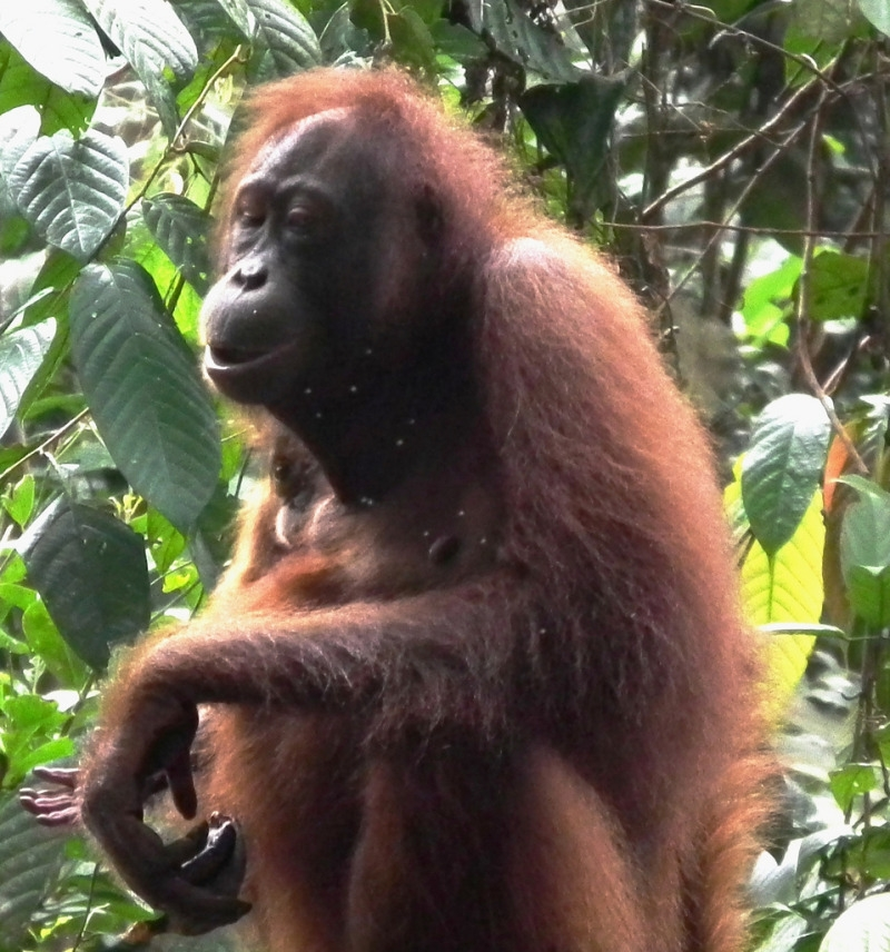 Orangutan sepilok relaxes in the trees in Malaysia