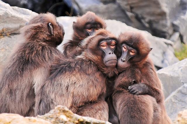 Group-of-gelada-baboons