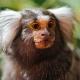 Portrait-of-a-cute-marmoset