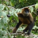 Spider Monkey eating his food in a tree