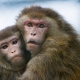 Two-macaques-holding-each-other