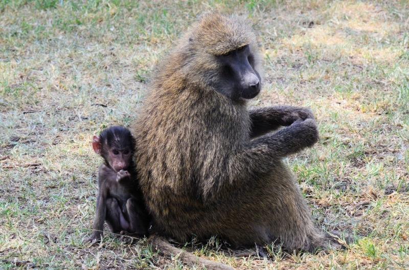 Baboon at Lake Nakuru in Kenya