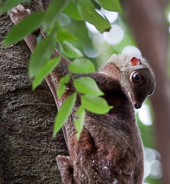 Flying-lemur-1