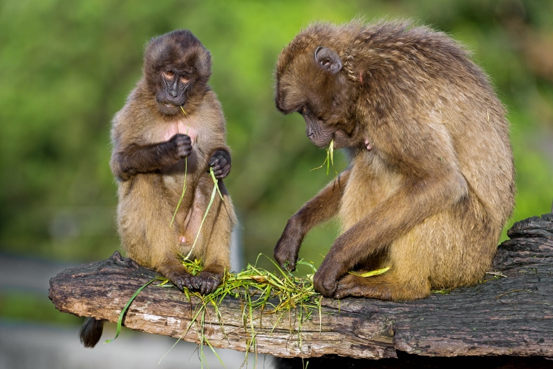 Two Gelada Baboons on a branch eating