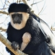 Colobus-with-baby
