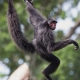 Swinging Spider Monkey