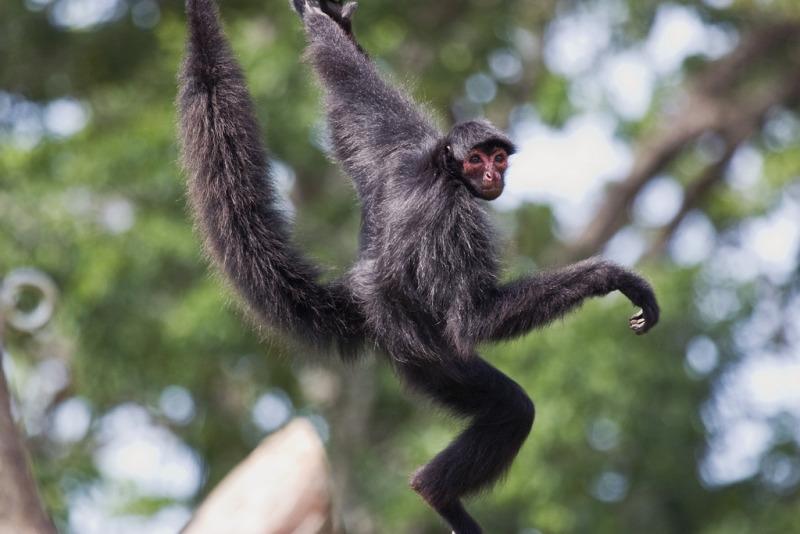 Swinging Spider Monkey
