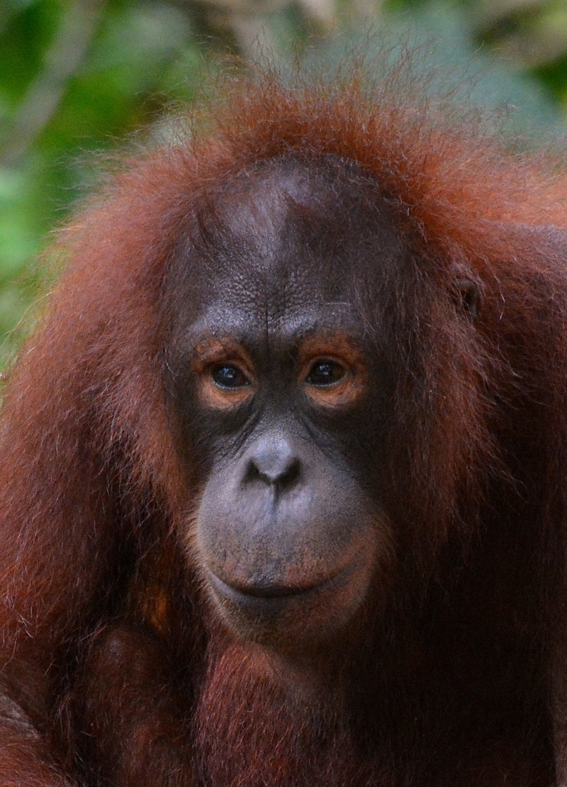 Handsome fellow is this Wild man of Borneo.