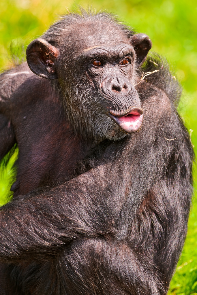 Singing-chimpanzee