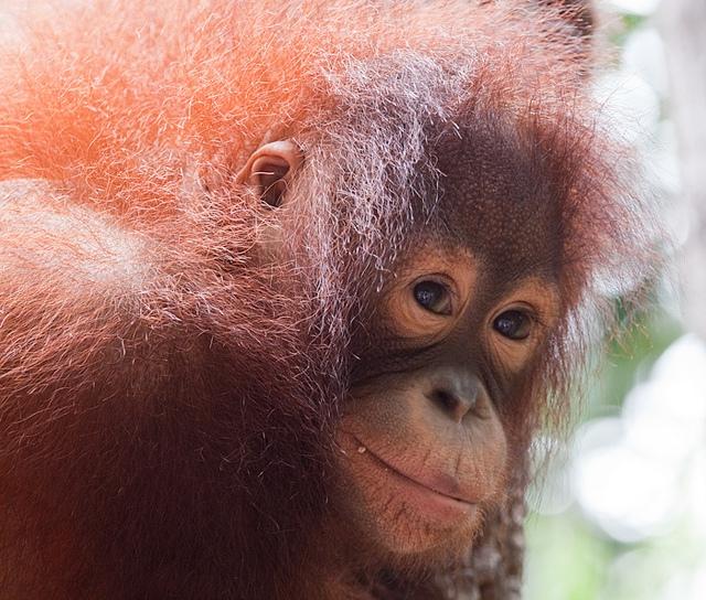 Orangutan-11