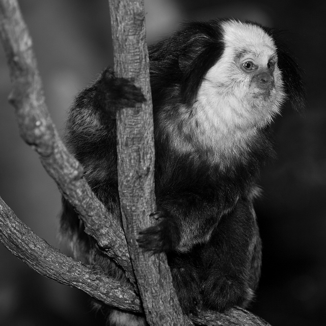 Marmoset-at-Whipsnade