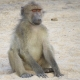 Baboon sitting on the warm sand in the dry river bed