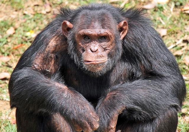 Chimpansee-Entebbe-zoo
