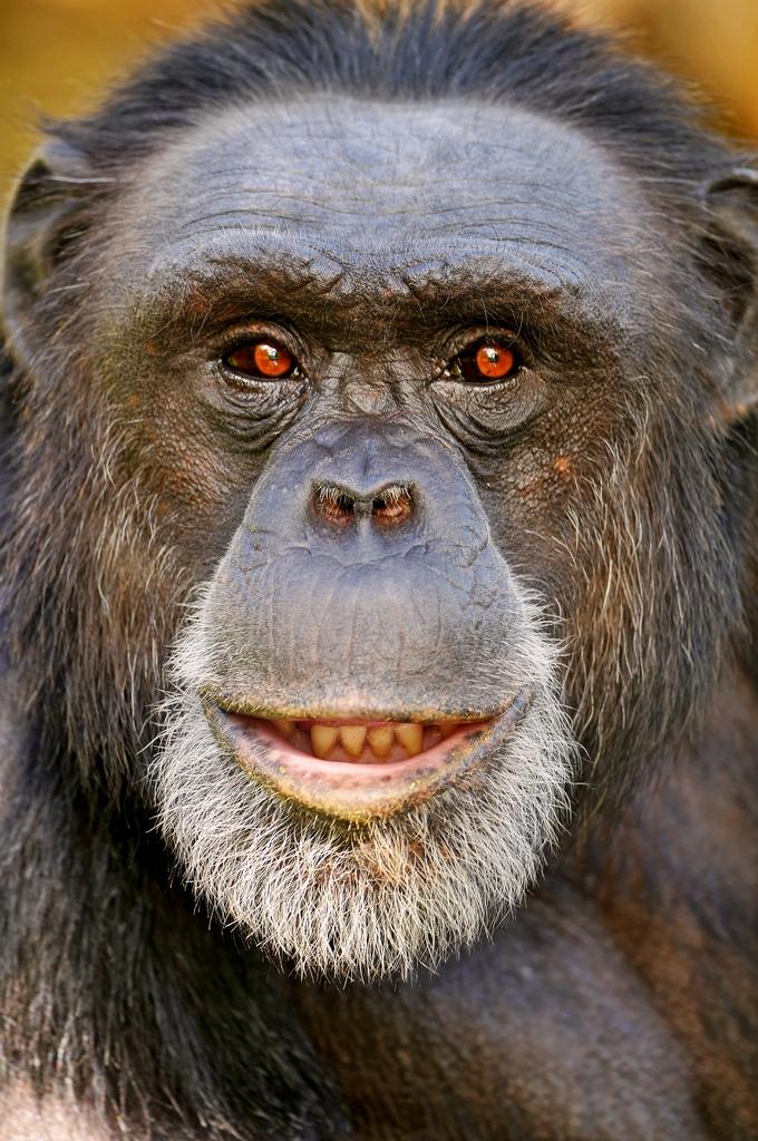 Portrait-of-the-male-chimpanzee