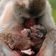 Japanese-Macaque-Monkey