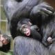 Just too cute, baby chimp