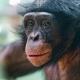 Portrait-of-a-bonobo-II