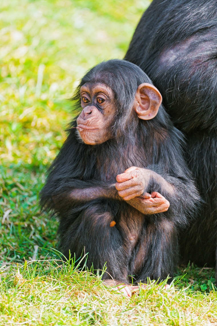 Young chimp near her mother
