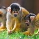 Two cute squirrel monkeys interacting together in the grass