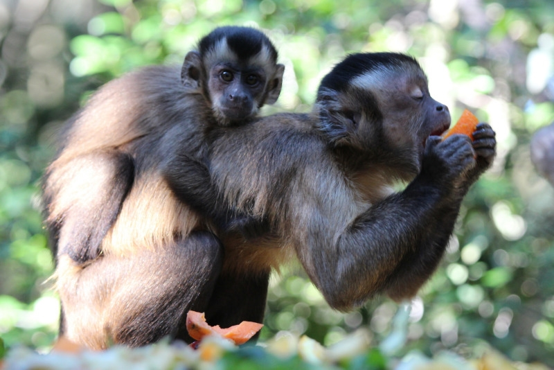 Mother and baby Tufted Capuchin eating
