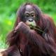 Time for Orangutan meal
