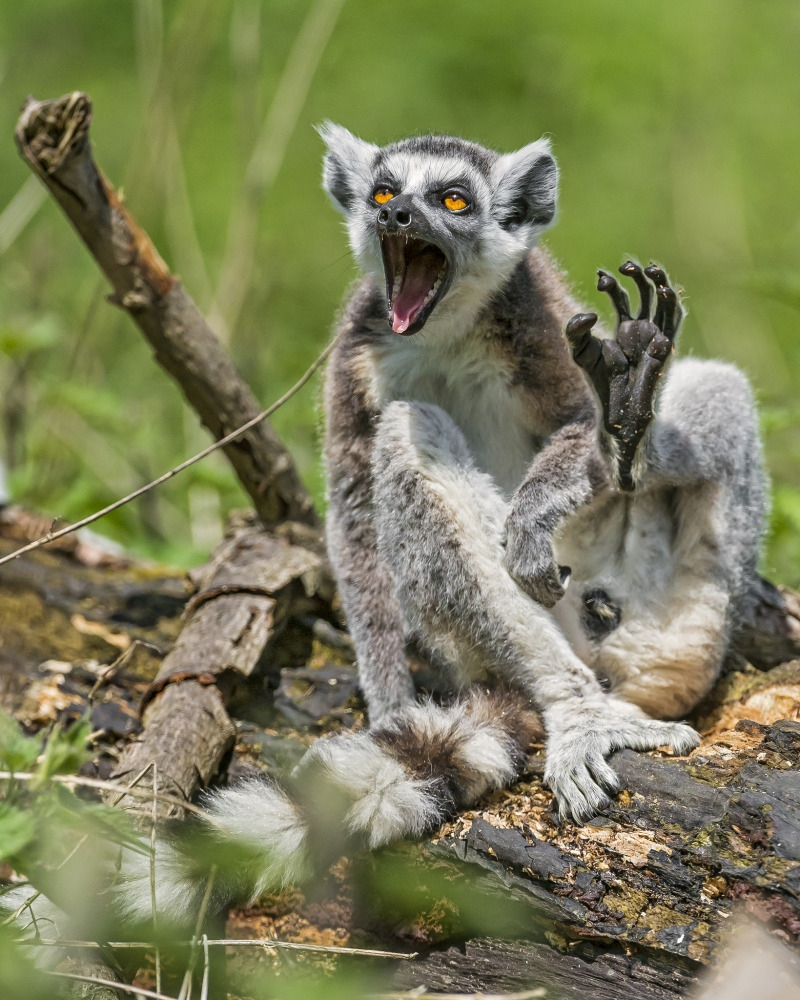 A male lemur in a funny position!