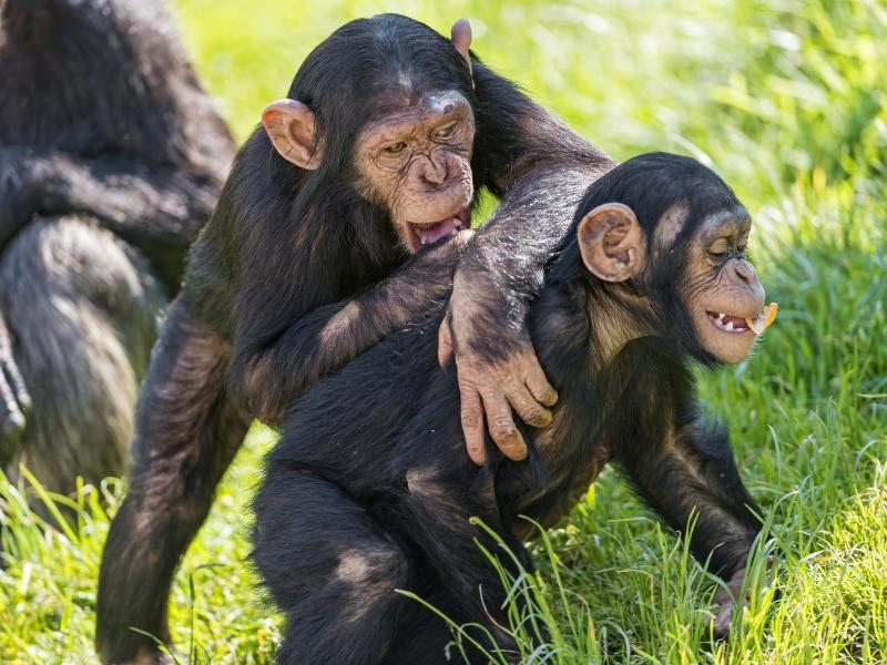 Chimpanzee young playing