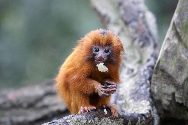 Baby-golden-lion-tamarin-2