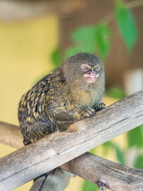 Marmoset-at-Zoo-Lagos