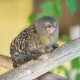 Marmoset-at-Zoo-Lagos