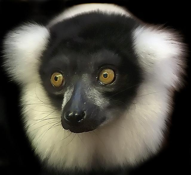 Ruffed-Lemur
