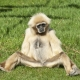 White Gibbon sitting on the grass at a Safari zoo