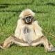 White Gibbon sitting on the grass at a Safari zoo
