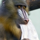 A male mandrill ape playing with a towel!