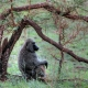Tree-baboon