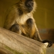 Black-Handed-Spider-Monkey