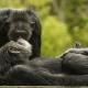 Chimpanzee-7