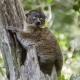 Hubbards-Sportive-Lemur