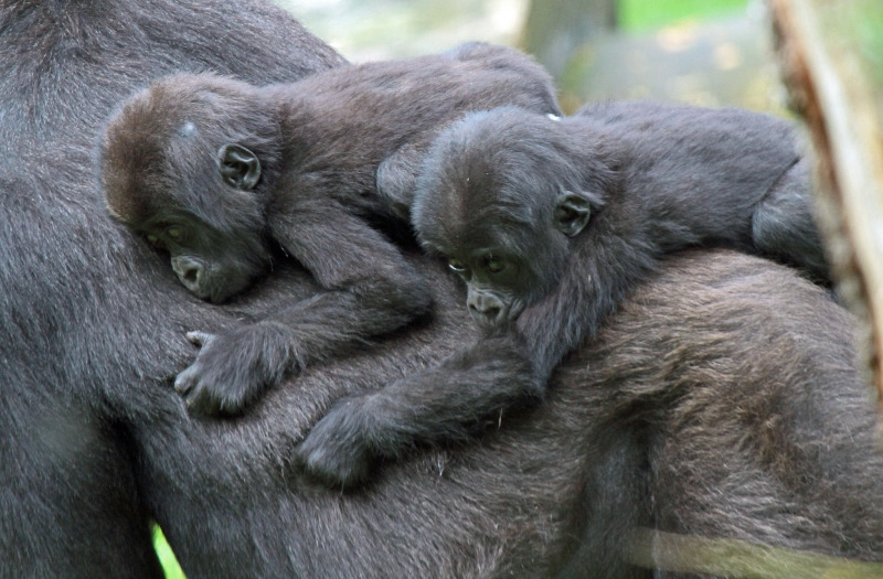 Two Gorillas taking a ride home