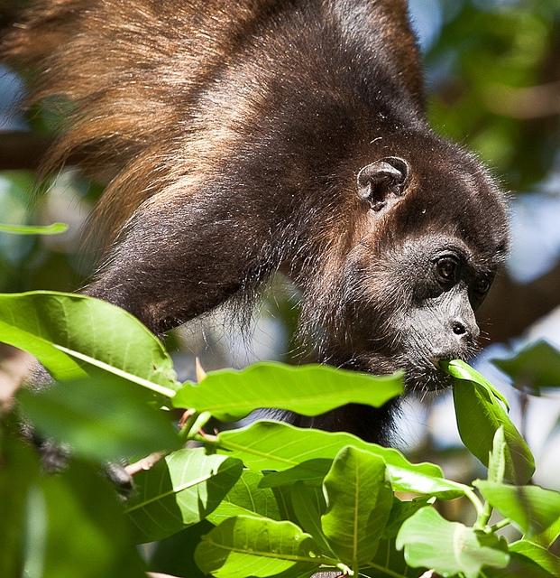 Mantled-Howler-Monkey-16