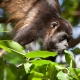 Mantled-Howler-Monkey-16