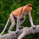 Proboscis-Monkey-younger-male